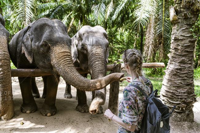 Rear view of woman feeding elephants in sanctuary- Krabi- Thailand