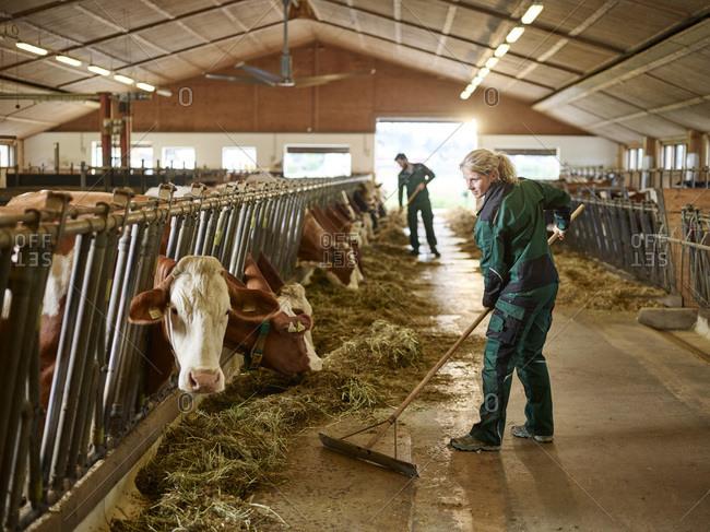 Female farmer working in cow house on a farm