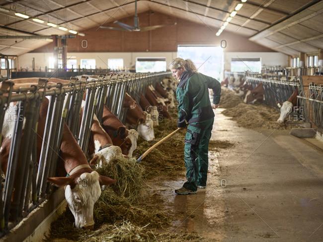 Female farmer feeding cows in stable on a farm