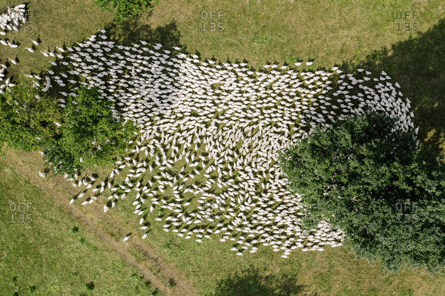 Austria- Carinthia- Klagenfurt- Aerial view of large flock of geese grazing outdoors