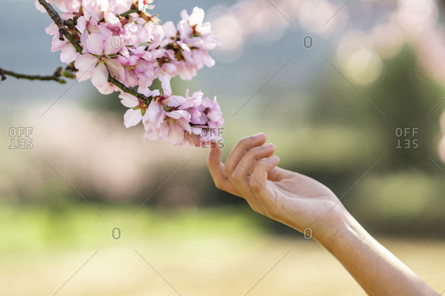 Girl's hand touching pink almond blossom- close-up