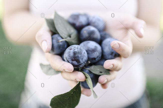 Russia- Hands of adult woman holding heap of fresh plums