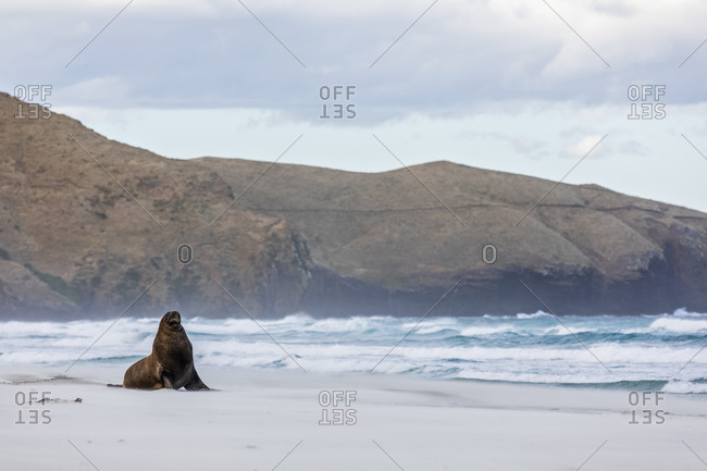 New Zealand- Dunedin- New Zealand sea lion (Procurators hookeri) on Allans Beach