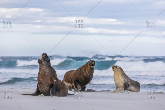 New Zealand- Dunedin- New Zealand sea lions (Procurators hookeri) mating on Allans Beach