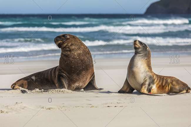New Zealand- Dunedin- New Zealand sea lions (Procurators hookeri) mating on Allans Beach