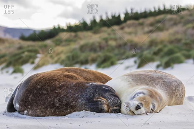 New Zealand- Dunedin- Two New Zealand sea lions (Procurators hookeri) sleeping together on Allans Beach