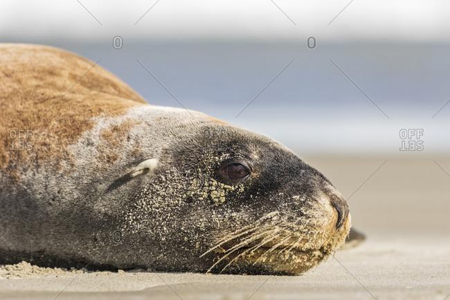 New Zealand- Dunedin- Portrait of New Zealand sea lion (Procurators hookeri) resting on Allans Beach