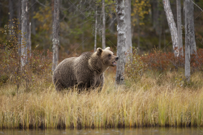 Finland- Kainuu- Kuhmo- Brown bear (Ursus arctos) standing on grassy lakeshore in autumn taiga