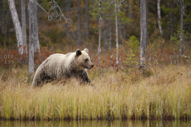 Finland- Kainuu- Kuhmo- Brown bear (Ursus arctos) walking along grassy lakeshore in autumn taiga