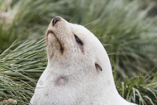 Leucistic Antarctic fur seal (Arctocephalus gazella), in the tussac grass at Gold Harbor, South Georgia Island, Polar Regions
