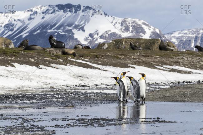 Adult king penguins (Aptenodytes patagonicus) at breeding colony at Salisbury Plain, South Georgia Island, Polar Regions