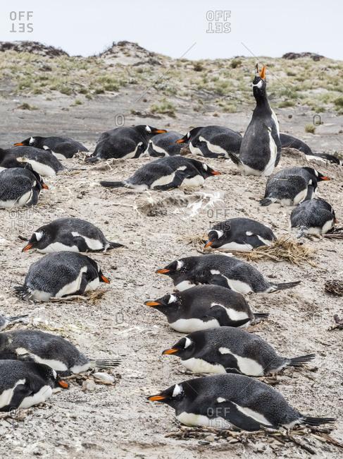 Gentoo penguins (Pygoscelis papua) at nesting site on Bull Point, East Island, Falkland Islands, South America
