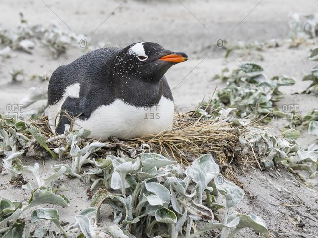 Gentoo penguin (Pygoscelis papua) at nesting site on Bull Point, East Island, Falkland Islands, South America