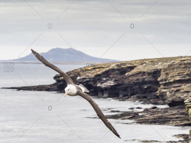 Adult black-browed albatross (Thalassarche melanophris), in flight on Saunders Island, Falkland Islands, South America