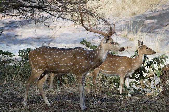 Chital deer (Spotted deer) (Axis axis), Ranthambhore National Park, Rajasthan, India, Asia