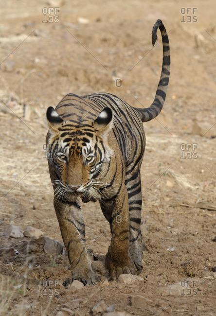 Female Bengal tiger (Panthera tigris tigris) walking straight to the camera, Ranthambhore National Park, Rajasthan, India, Asia