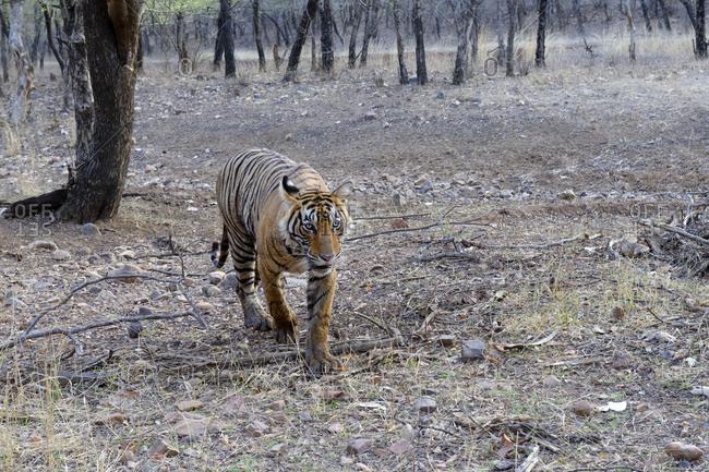 Female Bengal tiger (Panthera tigris tigris), Ranthambhore National Park, Rajasthan, India, Asia