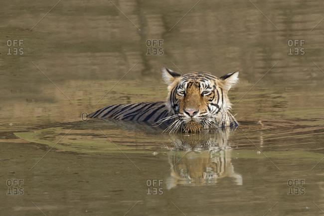 Female Bengal tiger (Panthera tigris tigris) refreshing in the water, Ranthambhore National Park, Rajasthan, India, Asia