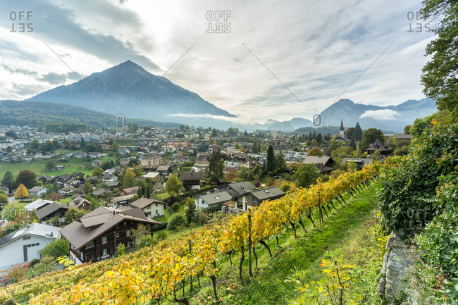 Vines in a row surrounding Spiez with mountains in background, canton of Bern, Switzerland, Europe