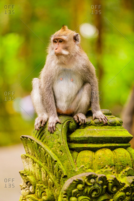 Monkey at the Sacred Monkey Forest, Ubud, Bali, Indonesia, Southeast Asia, Asia