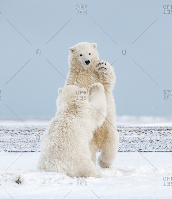Polar Bear Cubs High-Fiving in the Arctic