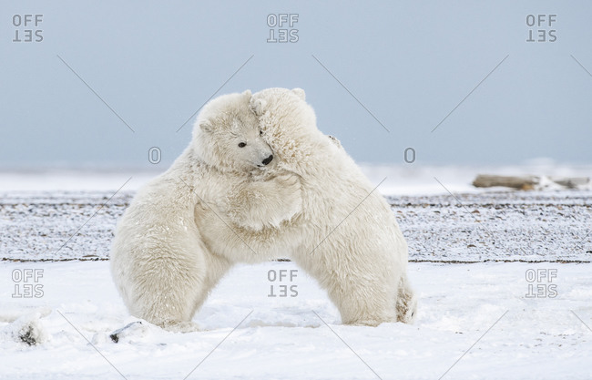 Polar Bear Cubs Hugging in the Arctic