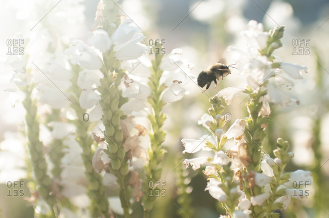 Close up of a bee flying in garden outdoors in pretty light