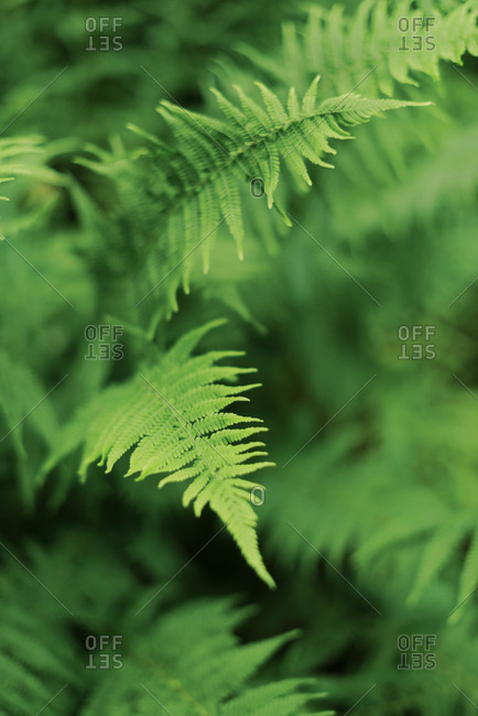 Close up of fern in the woods.