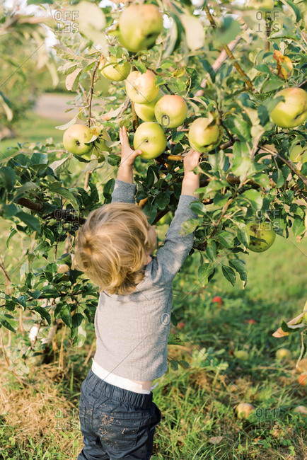 Little toddler boy picking big apples from a young apple tree.