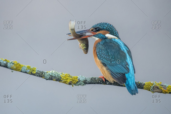 Kingfisher with a fish in its beak perched on a gray foggy branch background