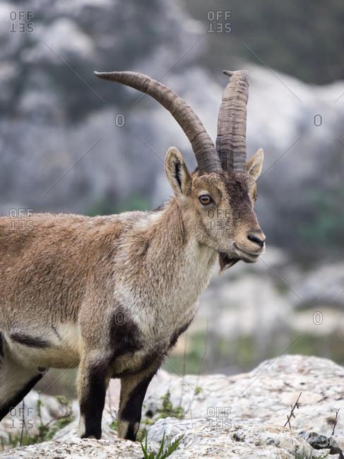 Male Hispanic Ibex (Capra Pyrenaica) Torcal de Antequera, Spain.