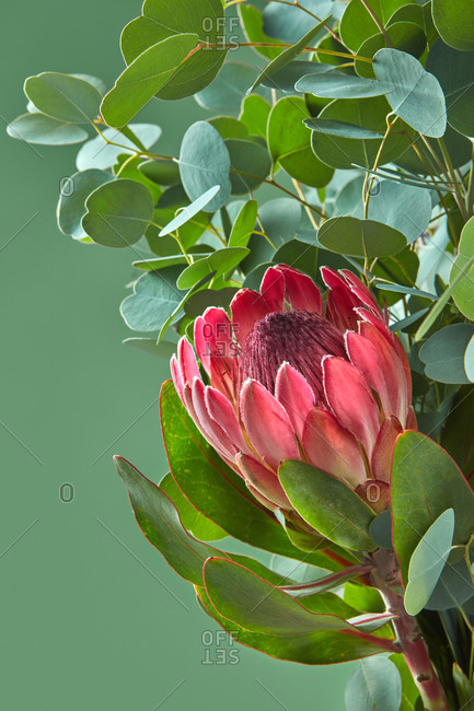 Single protea flower with lush foliage of Eucalyptus plant on a green background