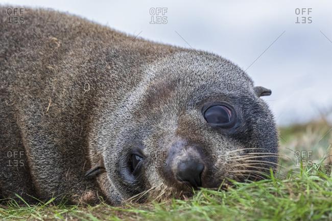 Oceania- New Zealand- South Island- Southland- Otago- Moeraki- Katiki Point- Close-up of New Zealand sea lion (Phocarctos hookeri) resting on grass