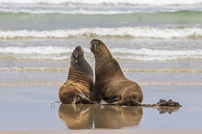 New Zealand- Oceania- South Island- Otago- Southeast- Catlins Coast- Two New Zealand Sea Lions (Phocarctos hookeri) in Purakaunui Bay
