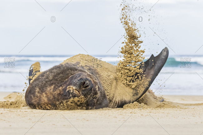 New Zealand- Oceania- South Island- Otago- Southeast- Catlins Coast- New Zealand Sea Lion (Phocarctos hookeri) tossing sand in Purakaunui Bay
