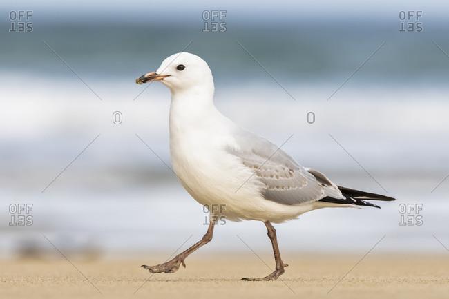 New Zealand- Oceania- South Island- Otago- Southeast- Catlins Coast- Red-billed Gull (Chroicocephalus scopulinus) walking on beach in Purakaunui Bay