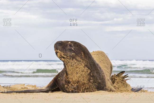 New Zealand- Oceania- South Island- Otago- Southeast- Catlins Coast- New Zealand Sea Lion (Phocarctos hookeri) lying in sand in Purakaunui Bay