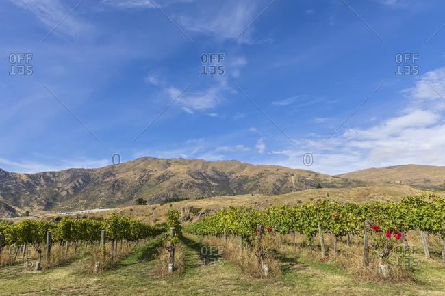 New Zealand- Oceania- South Island- Gibbston Valley- Vineyard