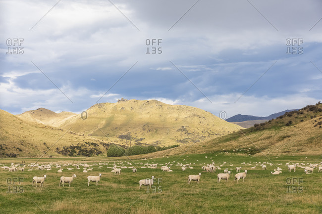 New Zealand- Oceania- South Island- Southland- Te Anau- Flock of sheep in pasture