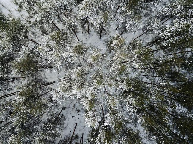 Russia- Leningrad Region- Tikhvin- Aerial view of forest in Winter