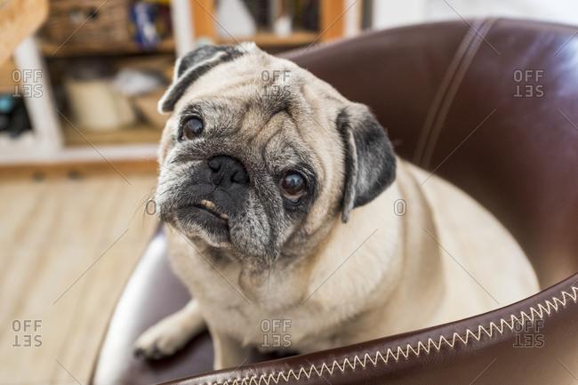 Portrait of pug sitting in armchair
