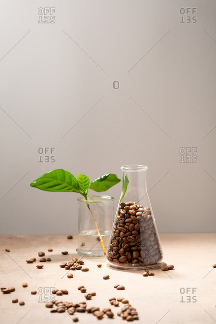 Aroma coffee beans and plant