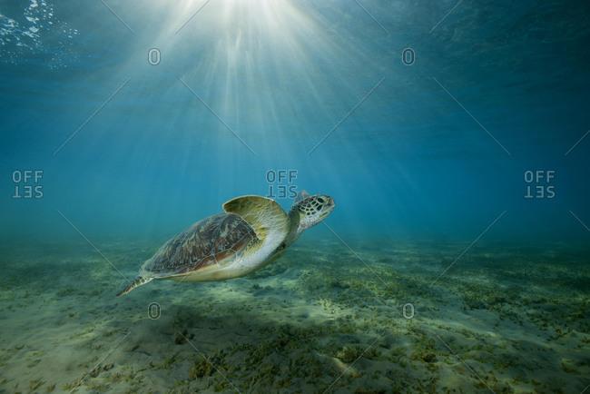 Green sea turtle (Chelonia mydas) swim over sandy bottom with sea grass, Marsa Alam, Abu Dabab, Egypt, Africa