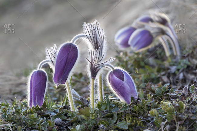 Pasque flower (Pulsatilla vulgaris), blossoms, Hohe Tauern National Park, Carinthia, Austria, Europe