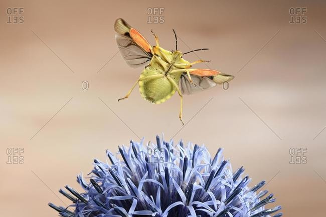 Nocturnal fruit bug (Carpocoris fuscispinus), in flight, at a globe thistle, Germany, Europe
