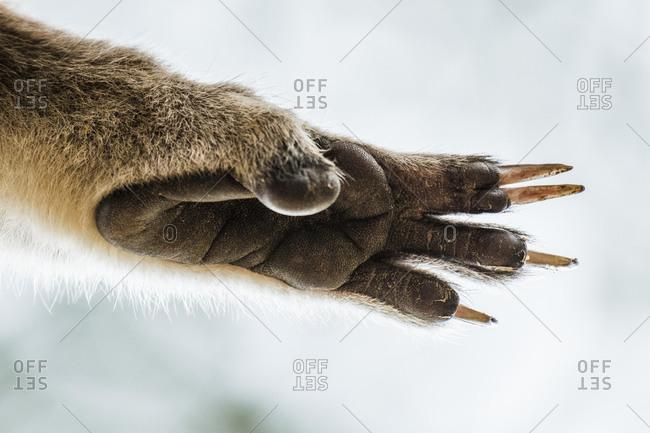 Koala (Phascolarctos cinereus), hind paw, close-up, South Australia, Australia, Oceania