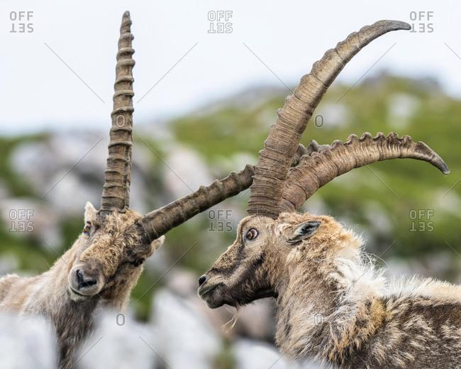 Two ibexes (Capra ibex) fighting in the Alps, Berchtesgadener Alps, Salzburg, Austria, Europe