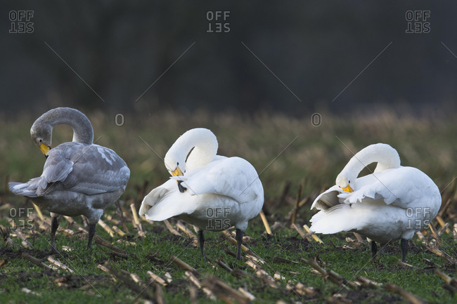 Whooper swans (Cygnus cygnus), cleaning themselves, Emsland, Lower Saxony, Germany, Europe