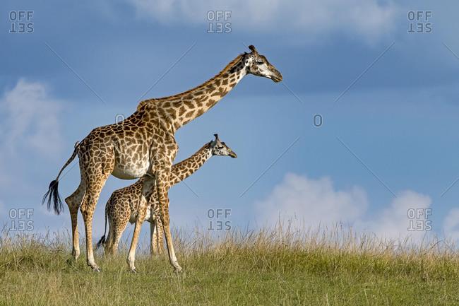 Giraffes (Giraffa camelopardalis), dam with young animal running through the grass pan, Masai Mara, Kenya, Africa
