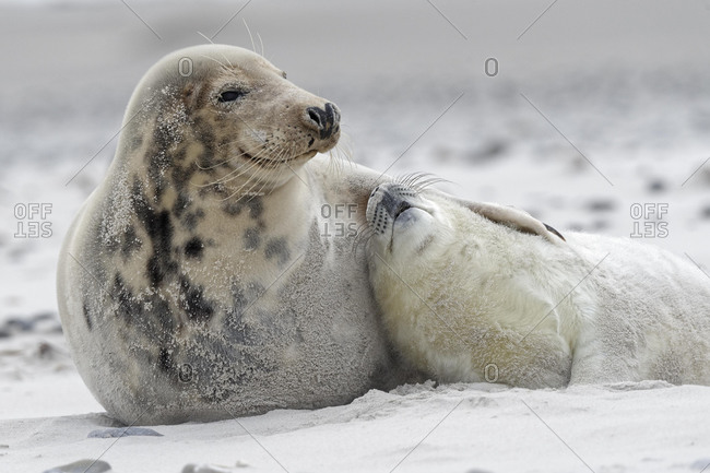 Grey seals (Halichoerus grypus), baby with dam at the beach, Island of Dune, Helgoland, Schleswig-Holstein, Germany, Europe